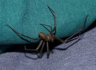 brown recluse spider bite