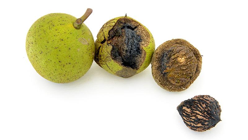 Green Hulls of Black Walnut