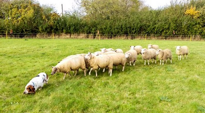 basset hound natural sheep dog