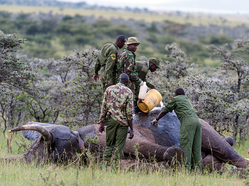 Elephant injured by poachers