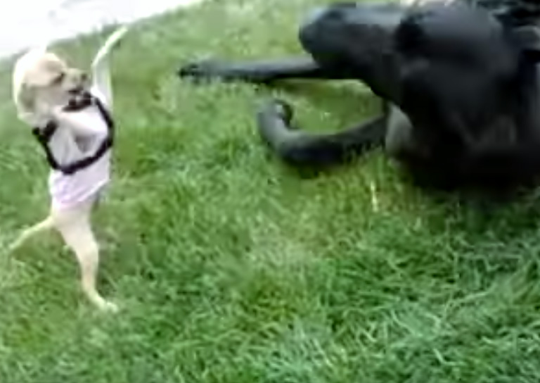chihuahua fights great dane