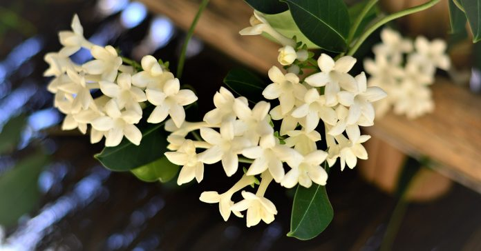 jasmine plant reduces anxiety panic attacks depression