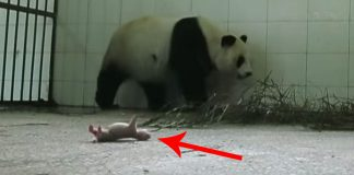mommy panda rejects her newborn