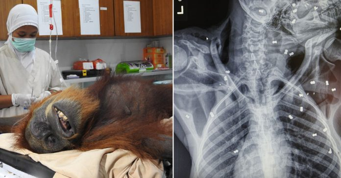 mother orangutan 74 airgun pellets