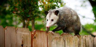 opossum in your yard