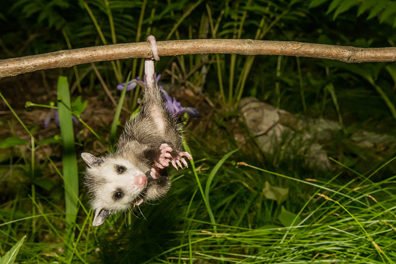 Here's Why It May Be A Good Sign To See An Opossum In Your ...