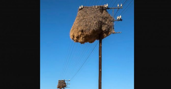 social weaver bird nest