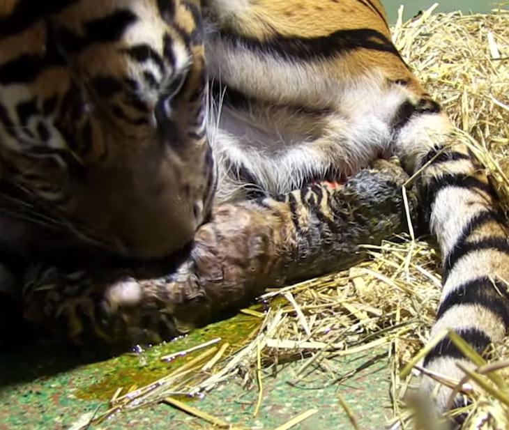 tiger birth