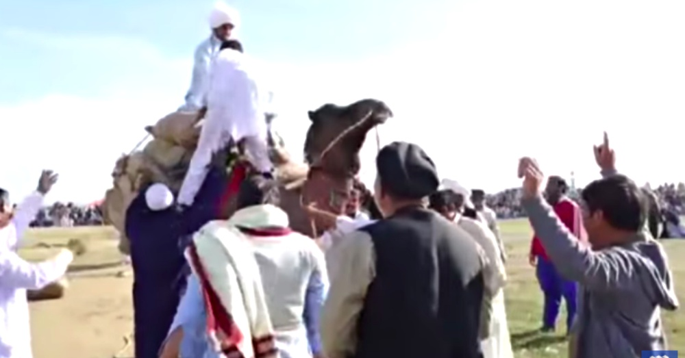 cruel camel contest