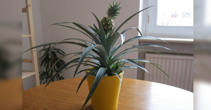 grow a pineapple at home