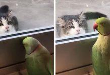 parakeet peek a boo cat
