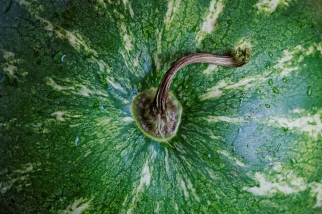 watermelon stems