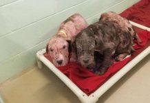 5 sick and bald puppies