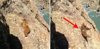 bear falling off cliff and dies