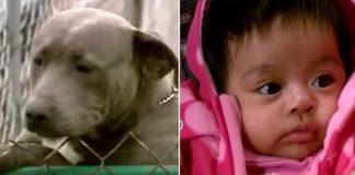 pit bulls save baby