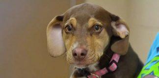 tiny dog saved 3-year-old girl